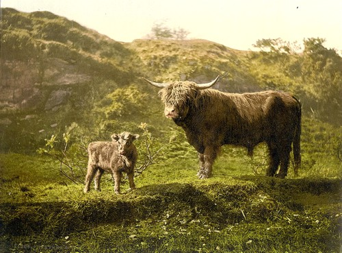[Father and son (highland cattle), England]
